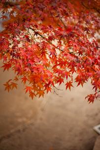 紅葉の写真素材 [FYI01186515]