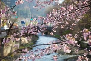 高尾山口駅付近の桜の写真素材 [FYI01186534]