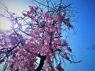 桜光るの写真素材 [FYI01187055]
