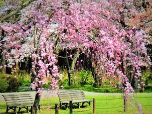 公園のお花見の写真素材 [FYI01187065]