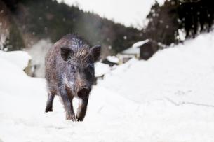 雪里を歩くイノシシ1頭の写真素材 [FYI01187692]
