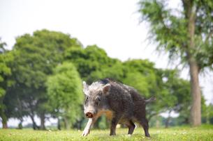 走る草地のイノシシの写真素材 [FYI01187702]