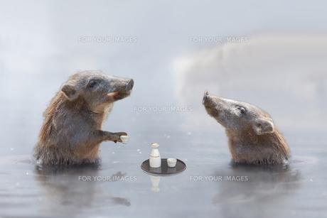 温泉に入る猪 (年賀用合成)の写真素材 [FYI01187716]