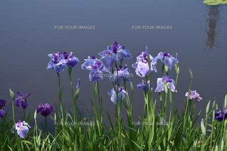 池の花菖蒲の写真素材 [FYI01187771]