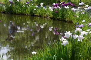 池の花菖蒲の写真素材 [FYI01187772]