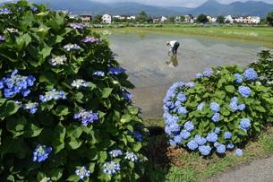 田植えの季節の写真素材 [FYI01187774]