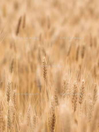 小麦畑の写真素材 [FYI01187857]