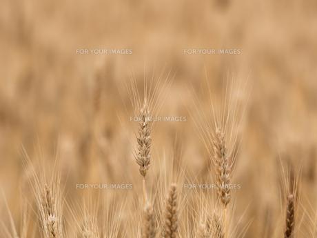 小麦畑の写真素材 [FYI01187858]