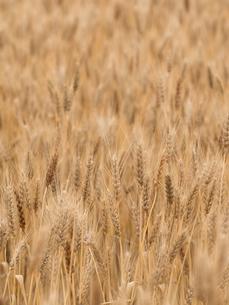 小麦畑の写真素材 [FYI01187859]