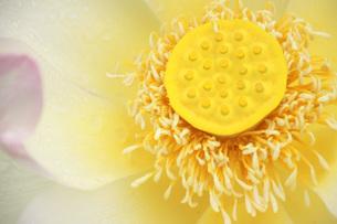 ハスの花のアップの写真素材 [FYI01187984]