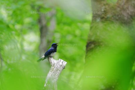 三大青鳥「オオルリ」の写真素材 [FYI01188432]