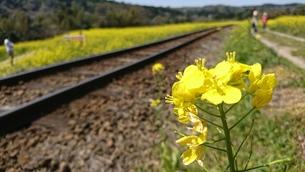 菜の花と線路の写真素材 [FYI01188546]
