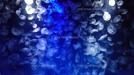 クラゲの遊泳2の写真素材 [FYI01188548]