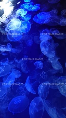 クラゲの遊泳の写真素材 [FYI01188549]