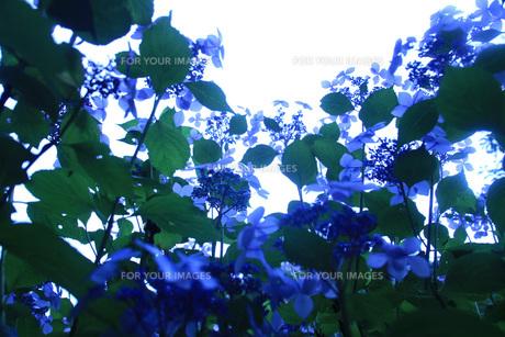 雨上がりに光に透過された紫陽花 の写真素材 [FYI01188554]