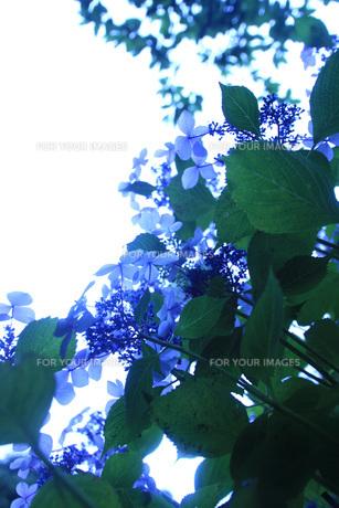 雨上がりに光に透過された紫陽花 の写真素材 [FYI01188556]
