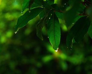 雨上がりの逆光の光で葉脈と雨の雫が綺麗の写真素材 [FYI01188584]