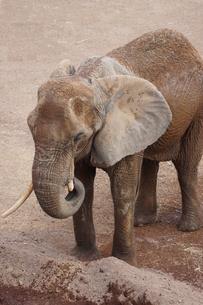 アフリカゾウの写真素材 [FYI01188605]