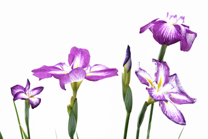 白背景の花菖蒲の写真素材 [FYI01188879]