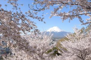 富士山と桜の写真素材 [FYI01188888]
