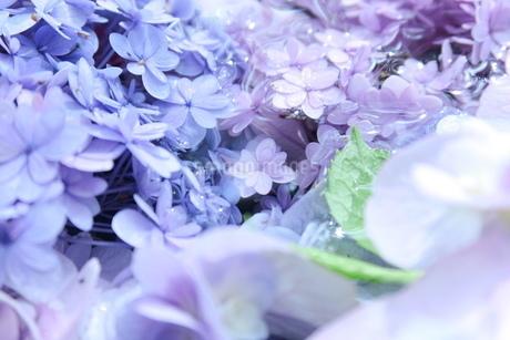 水の中に咲く紫陽花の写真素材 [FYI01189155]