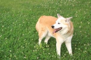 草原の上で笑顔で佇む犬の写真素材 [FYI01189195]