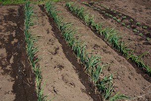 白ネギの苗植えつけ / 家庭菜園の写真素材 [FYI01189423]