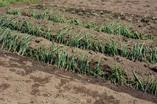 白ネギの苗植えつけ / 家庭菜園の写真素材 [FYI01189425]