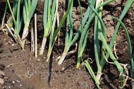 白ネギの苗植えつけ / 家庭菜園の写真素材 [FYI01189426]