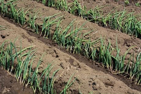 白ネギの苗植えつけ / 家庭菜園の写真素材 [FYI01189427]