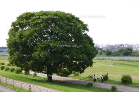 多摩川の丸い木の写真素材 [FYI01189452]