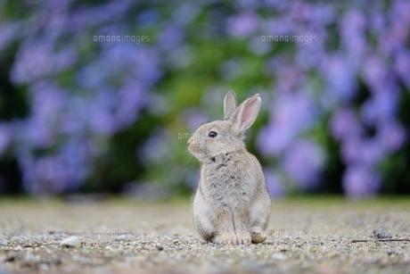 うさぎと紫陽花(大久野島)の写真素材 [FYI01189687]