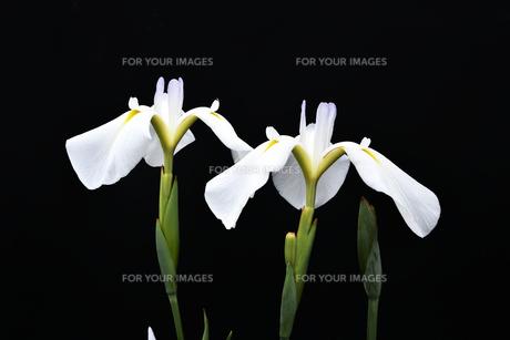 黒背景の菖蒲の写真素材 [FYI01189701]