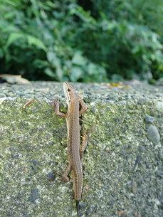 尾を再生中のカナヘビの写真素材 [FYI01189734]