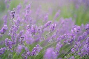 初夏の明るい雰囲気のラベンダーの写真素材 [FYI01189824]