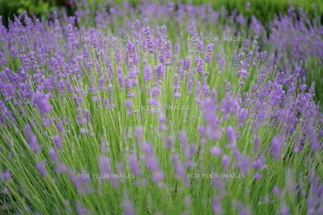 初夏の落ち着いた雰囲気のラベンダーの写真素材 [FYI01189825]