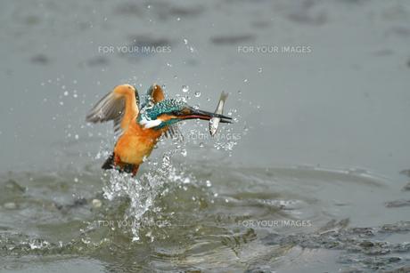 カワセミの捕食の写真素材 [FYI01189929]