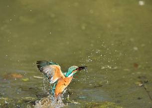 カワセミの捕食の写真素材 [FYI01189930]