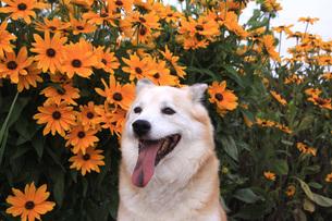 笑顔の犬と花の写真素材 [FYI01190108]