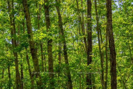 どこまでも森が広がる奥鬼怒の森の写真素材 [FYI01190146]