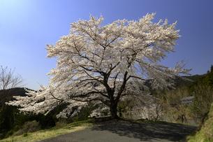 奥武蔵の山里に咲く八徳(やっとこ)の一本桜の写真素材 [FYI01190155]