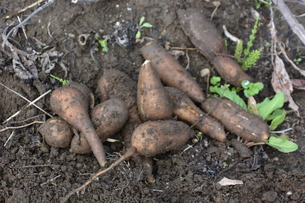 驚異の健康野菜・ヤーコンの収穫の写真素材 [FYI01190399]