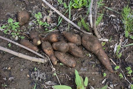 驚異の健康野菜・ヤーコンの収穫の写真素材 [FYI01190401]