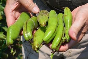 そら豆の収穫 / 家庭菜園・収穫の喜びの写真素材 [FYI01190438]