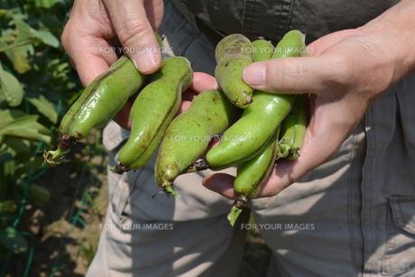 そら豆の収穫 / 家庭菜園・収穫の喜びの写真素材 [FYI01190439]