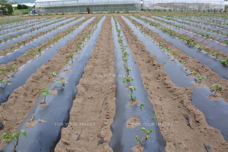 サツマイモ栽培の写真素材 [FYI01190466]