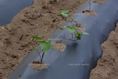 サツマイモ栽培の写真素材 [FYI01190467]
