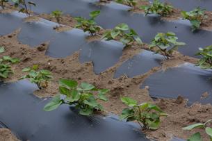 サツマイモ栽培の写真素材 [FYI01190468]