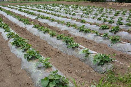 サツマイモ栽培の写真素材 [FYI01190469]