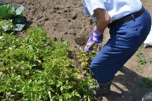 ジャガイモの収穫 / 収穫の喜びの写真素材 [FYI01190492]